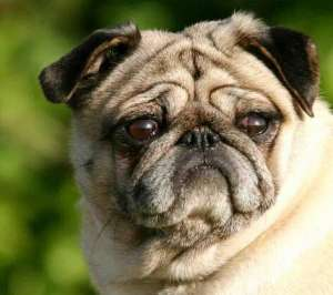 八哥犬拉稀不吃食怎么办?八哥犬常见病有哪些?